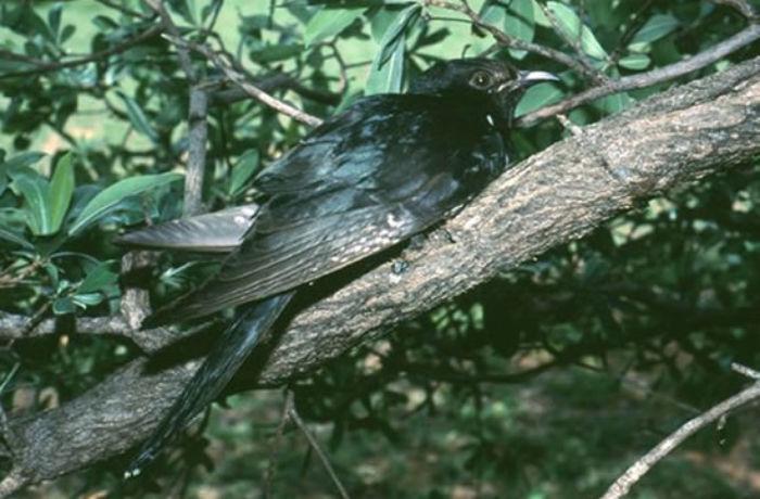 black-cuckoo