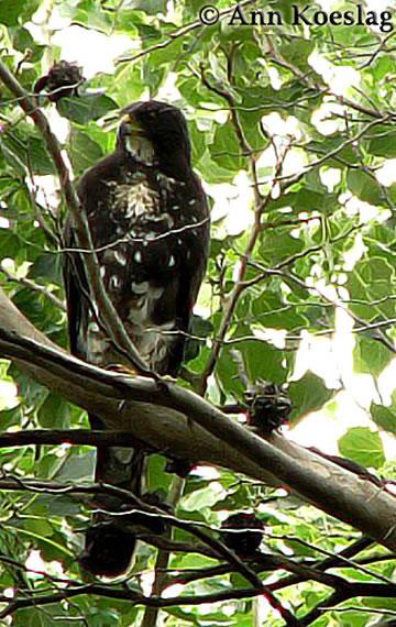 ann koeslag black sparrowhawk