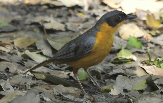 chorister-robin-chat-2