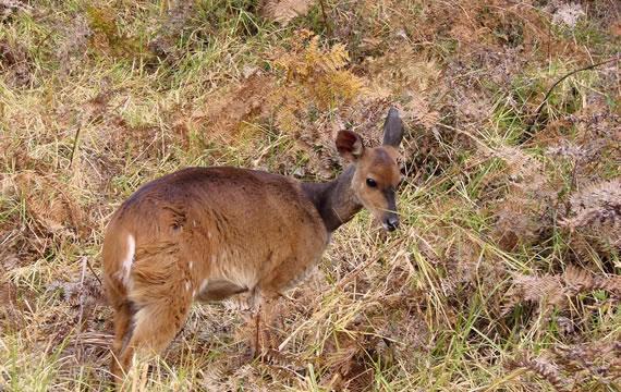 conservation bushbuck