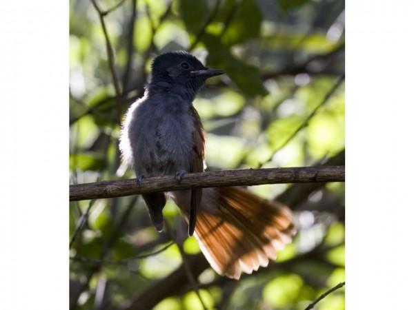 paradise-flycatcher