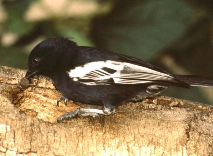southern-black-tit