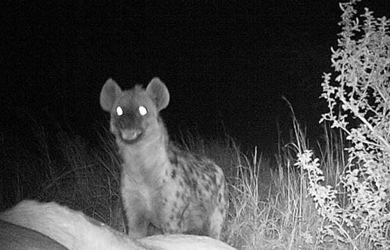spotted-hyaena-1