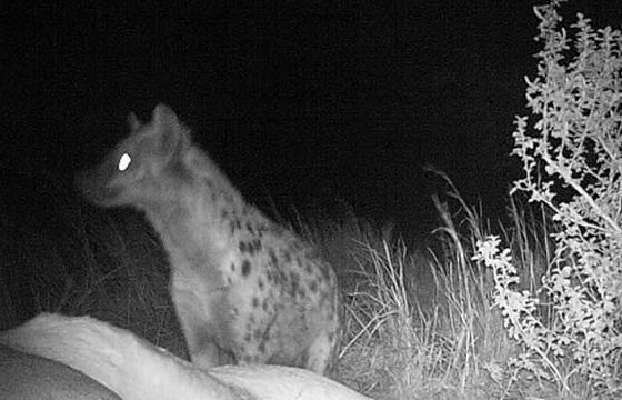 spotted-hyaena-2